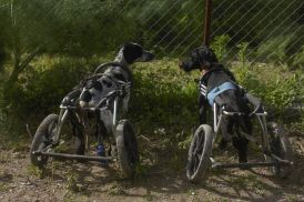 dogs in wheelchai 2
